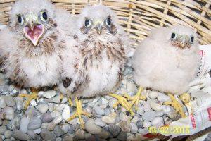3 Jungvögel